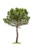 Isolated pine tree. On a white background Stock Photo