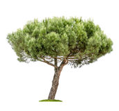 Isolated pine tree on a white background Stock Image