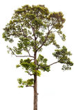 Isolated pine tree. On a white background stock image