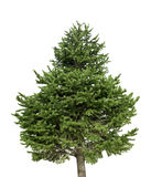 Isolated pine tree on a white background Stock Photos