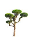 Isolated pine tree on a white background Royalty Free Stock Images