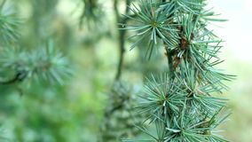 Isolated pine tree on a white background stock footage