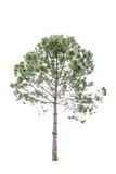 Isolated pine. Tree on a white background royalty free stock image