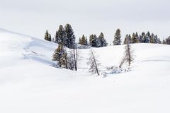 Isolated pine trees surrounded by deep snow in. Yellowstone royalty free stock images