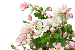 Isolated pink apple flowers Stock Photo