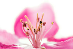 Isolated pink blossom of an apple tree Stock Photos