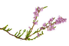 Isolated pink blossoming heather branch Royalty Free Stock Images