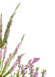 Isolated pink blossoming heather corner Royalty Free Stock Photo