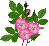 Isolated pink brier flowers with green leaves Royalty Free Stock Images