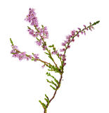 Isolated pink color heather branch Royalty Free Stock Photos