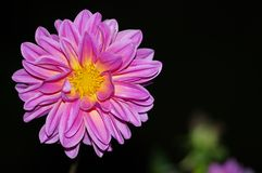 Isolated pink dahlia on black background. Bright pink dahlia with yellow center on black background for copy Royalty Free Stock Images