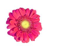 Isolated pink daisy Royalty Free Stock Image