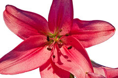 Isolated Pink Day Lily Royalty Free Stock Photo