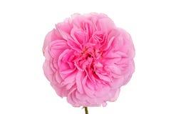 Isolated pink english rose Stock Image
