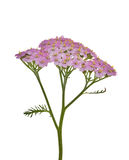 Isolated pink flower branch Stock Photography