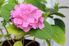Isolated Pink flower. In a flower pot with green leaves stock photo