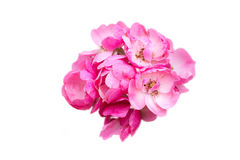 Isolated Pink Flower. The isolated of splendid pink flower Royalty Free Stock Images