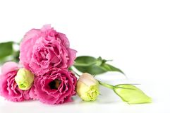 Isolated pink flowers stock photography