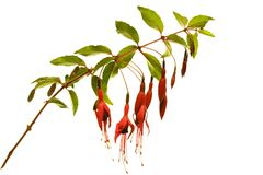 Isolated pink Fuchsia-Blossoms. Isolated bough of a fuchsia-plant with blossoms Royalty Free Stock Photo