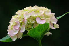Isolated pink  hydrangea flower Stock Photography