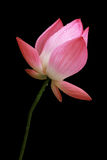 Isolated Pink Lotus Royalty Free Stock Images