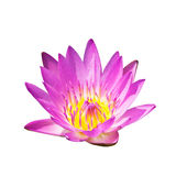 Isolated pink lotus flower. An isolated pink lotus flower in white background Royalty Free Stock Images