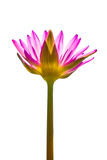 Isolated pink lotus flower Royalty Free Stock Photo