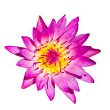 Isolated pink lotus flower Royalty Free Stock Image