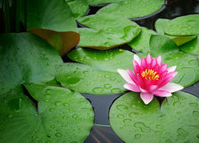 Isolated pink lotus in a lake Royalty Free Stock Image