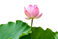 Isolated pink lotus Royalty Free Stock Photography