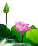 Isolated pink lotus Royalty Free Stock Photo