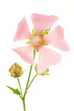 Isolated Pink Malva. Isolated blossom of a pink malva flower Royalty Free Stock Photo