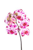 Isolated pink orchid Stock Photography