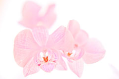 Free Isolated Pink Orchids Stock Photos - 13917803
