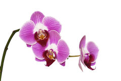 Isolated pink orchids. Macro of pink orchids with background removed Stock Photos
