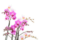 Isolated pink orchids Stock Photos