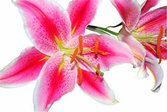 Isolated pink oriental lilies Stock Photo