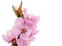 Isolated pink peach blossoms Stock Photography