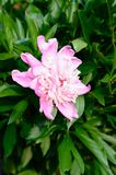 Isolated Pink peony flower. In a garden with green leaves royalty free stock images