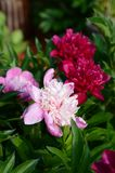 Isolated Pink peony flower. In a garden with green leaves royalty free stock photography