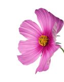 Isolated pink/purple cosmo on white Royalty Free Stock Photo