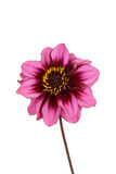 Isolated pink and purple dahlia flower Royalty Free Stock Photography