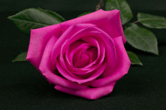 Isolated pink rose Stock Photography