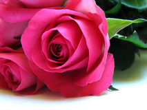 Isolated pink rose Stock Photo