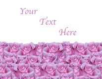 Isolated Pink Rose Background