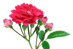 Isolated  pink rose with buds Stock Photography