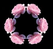 Isolated pink rose flowers kaleidoscope Royalty Free Stock Image