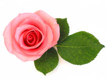 Isolated pink rose with green leaf. On white background Royalty Free Stock Photo