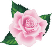 Isolated Pink Rose Leaf Royalty Free Stock Images