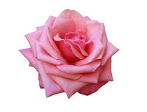 Isolated pink rose Stock Images